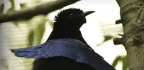These Bird Feathers Are so Black Your Eyes Can't Focus on Them
