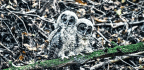 Marijuana Farms Are Poisoning Spotted Owls