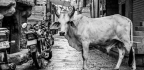 Milk, Motherhood, and the Last Refuge of the Sacred Cow