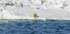 Polar Bears Burning More Calories Than Thought; Can They Survive Climate Change?