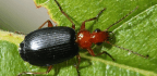 Watch Beetles Shoot Hot Chemicals From Their Butts To Escape Toad Bellies