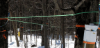 Improved Technology Saves Maple Syrup Producers Time, Energy