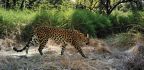 Leopards On The Verge Of Extinction In Cambodia
