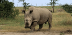 Sudan The Rhino Is Dead. But His Sperm Could Save The Species | Helen Pilcher