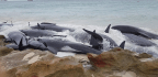 Once Again, a Massive Group of Whales Strands Itself