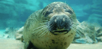 Otters Are Too Small, Whales Are Too Big, And Seals Are Just Right