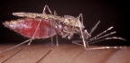 What If A Drug Could Make Your Blood Deadly To Mosquitoes?