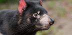 Contagious Cancer Is Killing Off Tasmanian Devils, But There Might Finally Be Hope