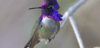 This Hummingbird's Tail Whistles, and No One's Sure Why