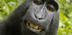 Monkey Can't Sue For Copyright Infringement Of Selfies, 9th Circuit Rules