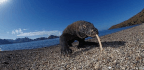 Can Indonesia's Komodo Dragons Survive Chinese Tourists?