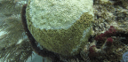 Battered By Bleaching, Florida's Coral Reefs Now Face Mysterious Disease
