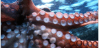 Octopuses Are Not Aliens, But Boy Are They A Bunch Of Beautiful Weirdos