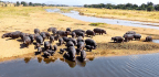 We're Messing Up The Way Hippo Poo Keeps Rivers Healthy