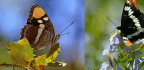 To Test Tricky Butterflies, Fool Birds With 3,600 Fakes