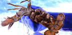 For Maine Lobstermen, Conservation And Success Go Hand In Hand