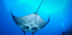 Why Biologists Are So Excited To Find A Bunch Of Puny Manta Rays