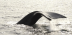 Baleen Holds Secrets to Whales' Lives—and Deaths