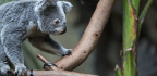 Koala Genes Might Reveal How They Survive A Toxic Diet