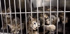 Why Are Japanese Torturing Cats And Posting The Videos Online?