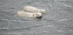 How (and Why) To Teach A Polar Bear To Walk On A Treadmill