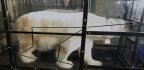 How To Train A Polar Bear To Walk On A Treadmill