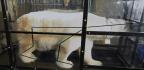 How To Train A Polar Bear To Walk On A Treadmill