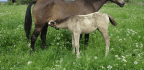 Mare's Milk For Health? Europeans Look To Horses For Ancient Remedy