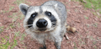What's Killing All The Raccoons In Central Park?