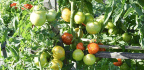 6 Ways To Help Your Tomato Plants Withstand The Latest Heat Wave