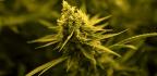 Despite Low Demand, Medical Marijuana Companies In Illinois Are Growing