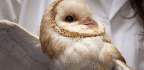 Scientists Study Barn Owls To Understand Why People With ADHD Struggle To Focus