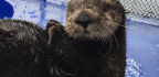 A Blindfolded Sea Otter Named Selka Shows How The Critters Find Food In Murky Water