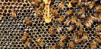 Weedkiller Weakens Bees By Messing With Their Microbiomes