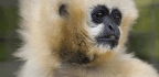 National Zoo Mourns Loss Of 51-Year-Old White-Cheeked Gibbon
