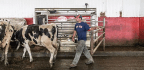 The Cow-Milking Robots Keeping Small Farms in Business