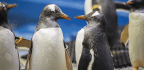 Same-Sex Penguin Couple Fosters An Egg In Sydney