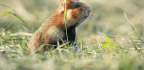 With Europe's Hamsters At Risk, Better Call The 'Hamster Commish'