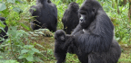 Male Gorillas Love Hanging Around With Infants