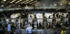 California's Dairy Farmers Were Struggling To Regain Profitability. Then Came The Trade Wars