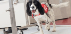 Dogs Can Detect Malaria By Sniffing People's Socks