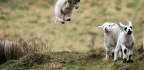 One Giant Leap For Lambkind