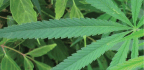 A Nation In Pain Can Medicinal Cannabis Help?