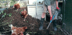 Chicken-assisted Compostng