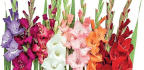 Flowers From Your Patch Gladioli