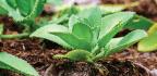 Kalanchoe, Tres Plantas Para La Salud