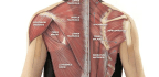 Get To Know … Your Neck Muscles