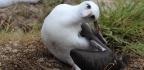 Wisdom The Albatross, World's Oldest Wild Bird, Lays Another Egg