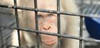 Alba The Albino Orangutan Is Now Free, Living In The Trees Again