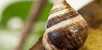 George, Reclusive Hawaiian Snail And Last Of His Kind, Dies At 14